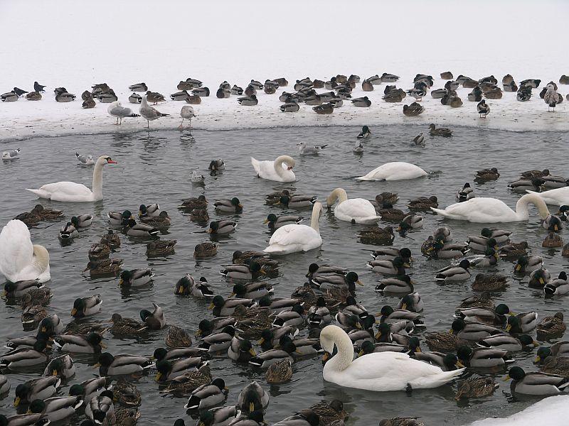 ptaki zalew 1