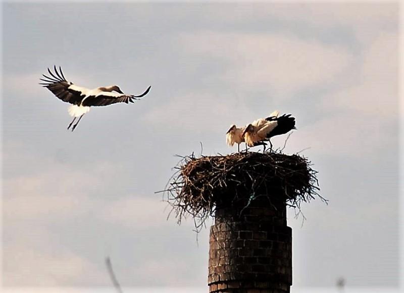 Bociania walka o gniazdo [FOTO]