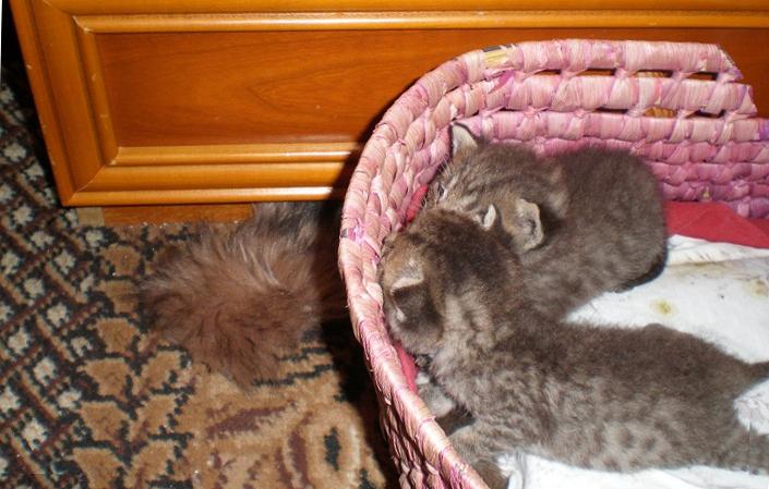 proste_koty