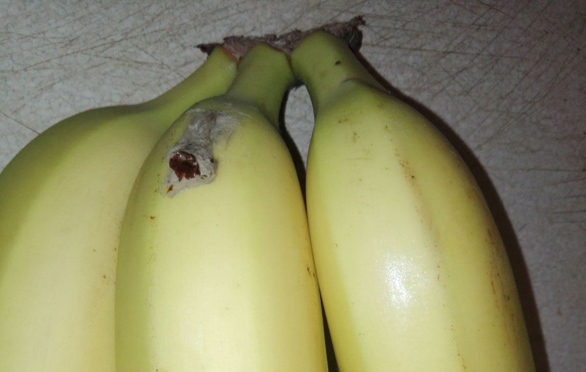 Kokon Groźnego Pająka W Bananach Swidnica24pl Wydarzenia