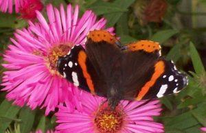 Motyl w ogrodzie ROD Aronia w Świdnicy, fot. Regina Dobrzyńska