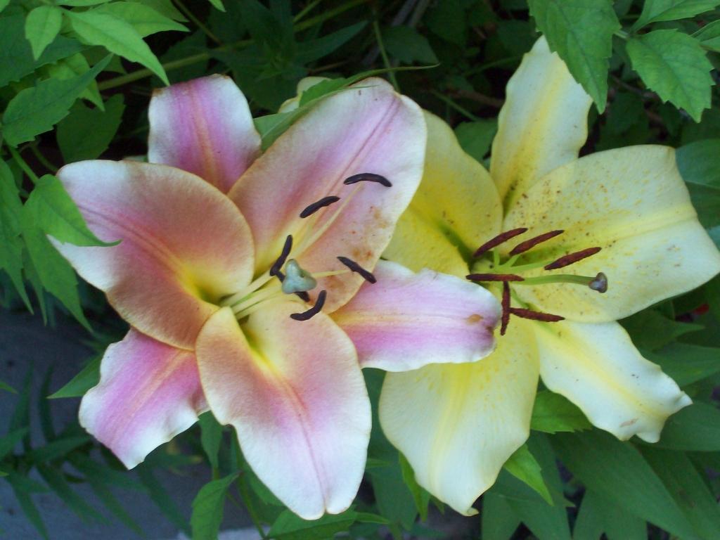 Kwiaty w ogrodach ROD Aronia w Świdnicy, fot. Regina Dobrzyńska
