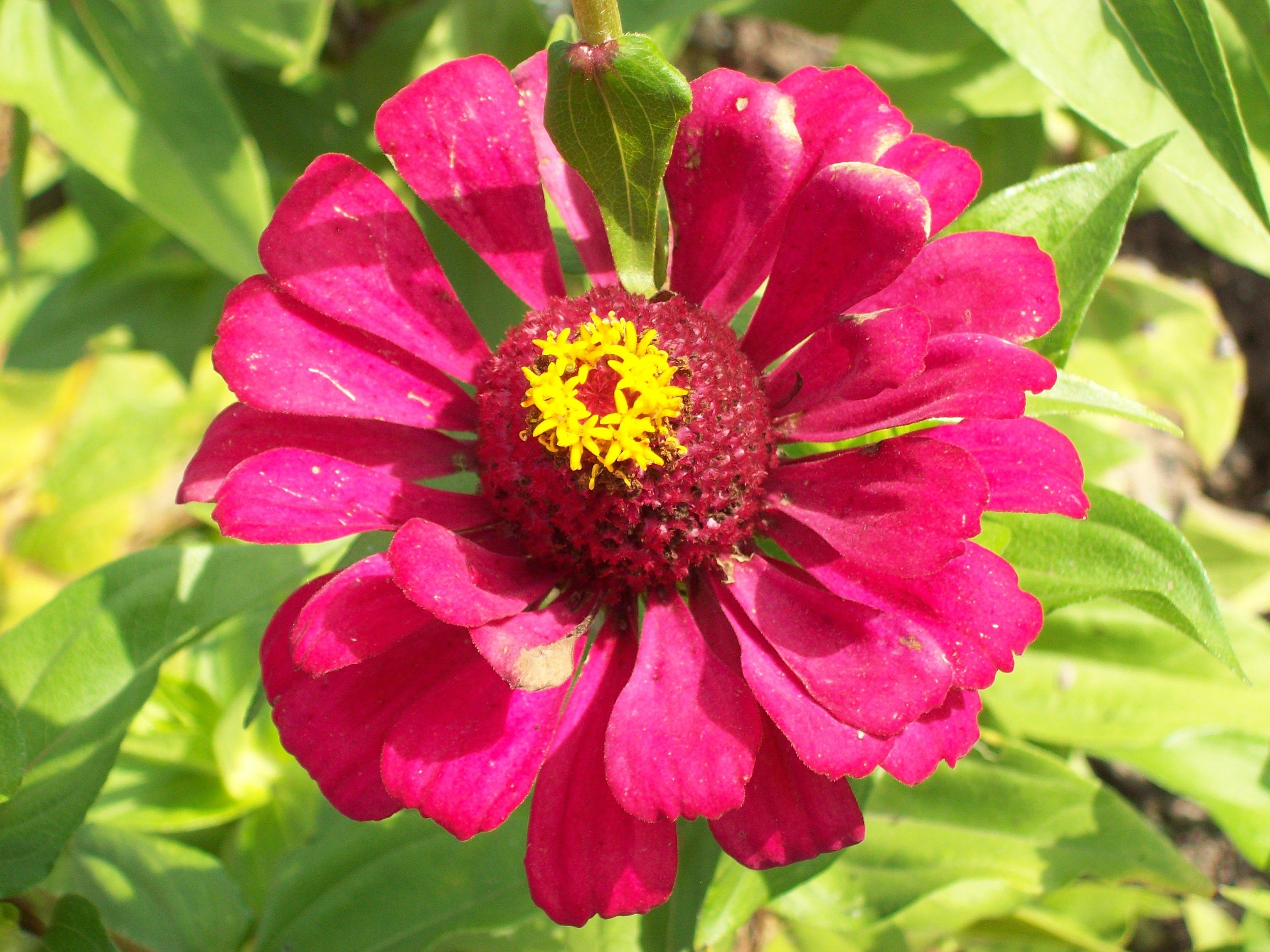 Kwiat, ogrody działkowe Aronia w Świdnicy, fot. Regina Dobrzyńska