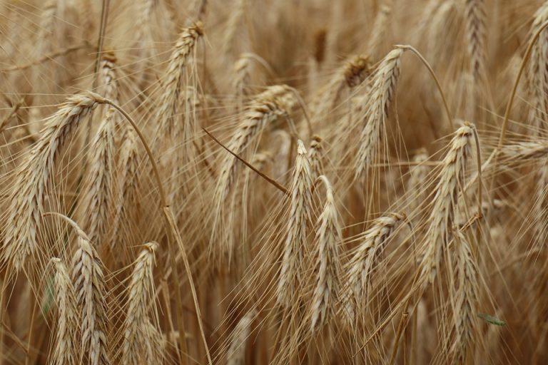 Powiat świdnicki zagrożony suszą. Rolnicy mogą składać wnioski