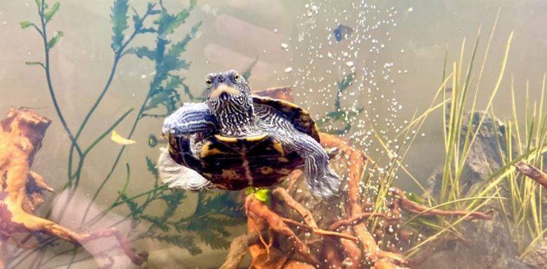 Żółw porzucony na trawniku