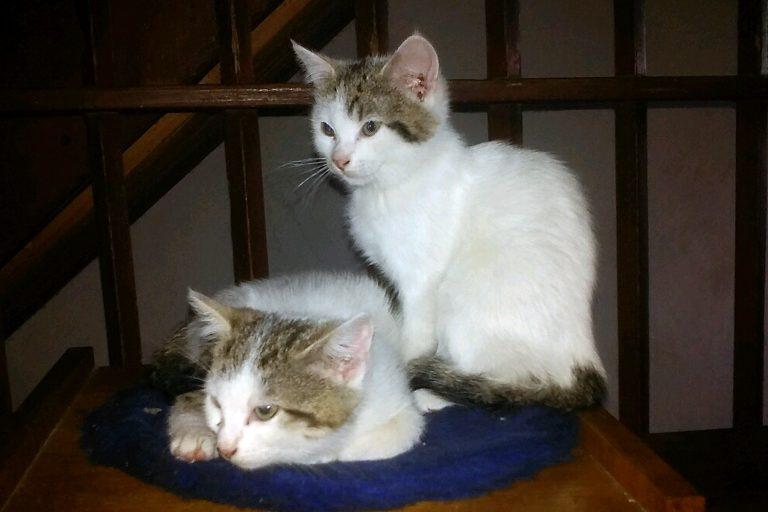 Kocie bliźnięta do adopcji