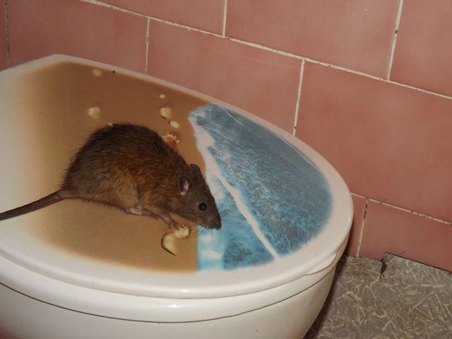 Niespodziewany gość w środku nocy. Szczur wyszedł z muszli klozetowej