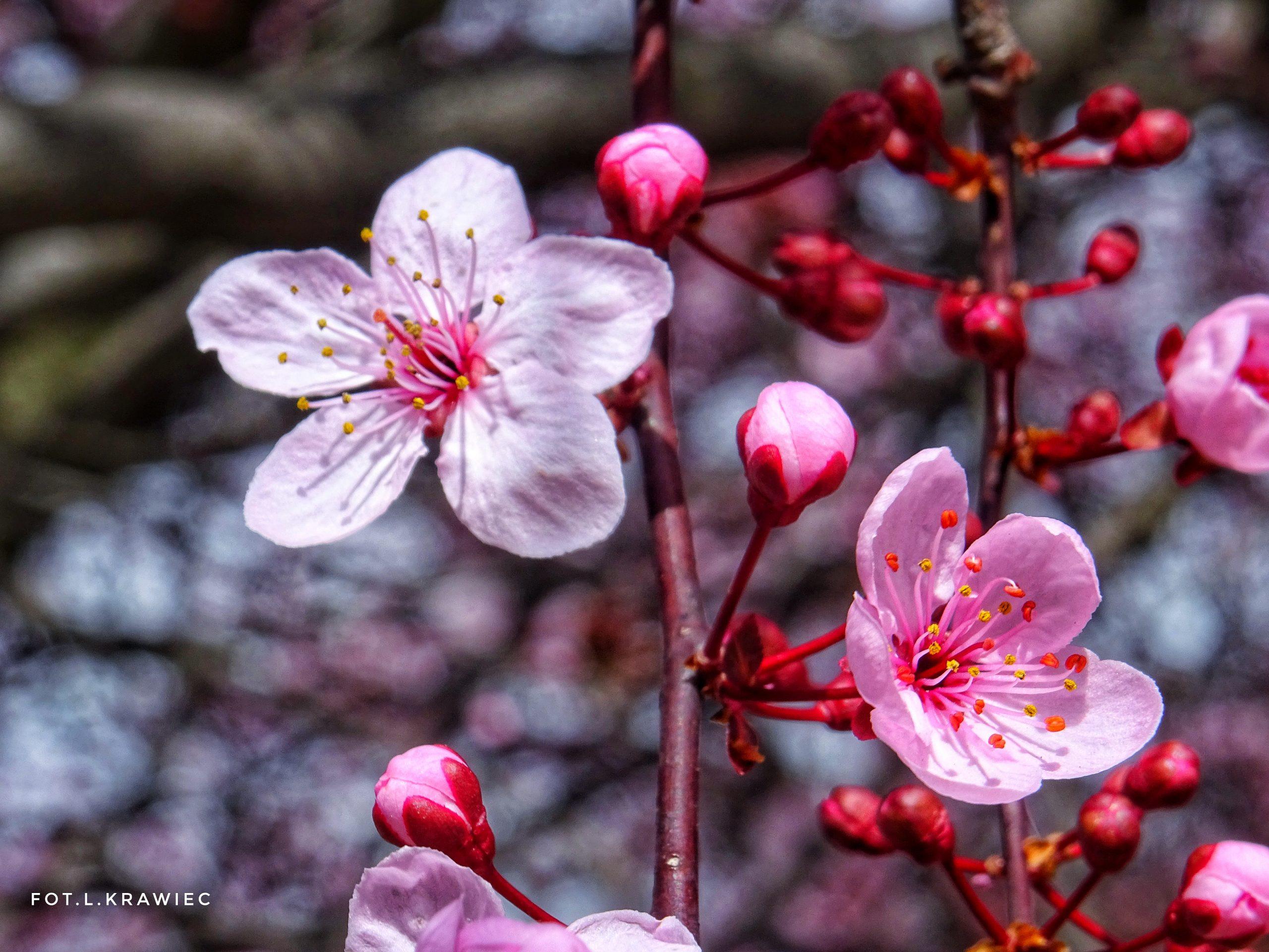 Wiosna, ul. 1 Maja w Świdnicy, fot. Leszek Krawiec