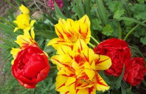 Kolorowy maj – ROD Aronia, fot. Regina Dobrzyńska