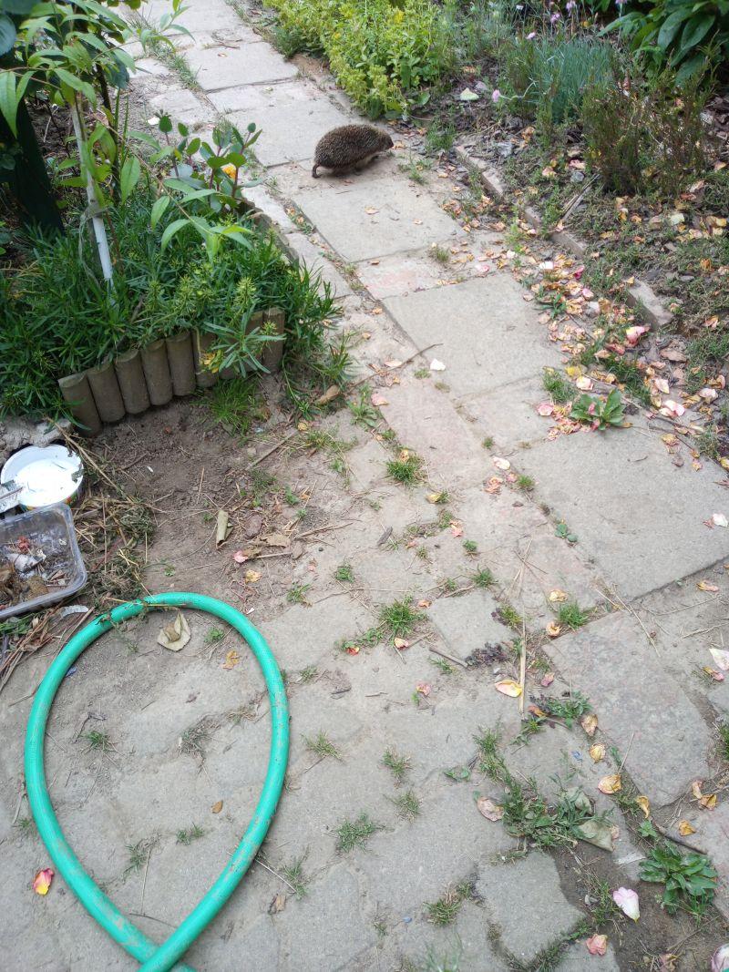 Jeż z wizytą na ogródku działkowym, Świdnica, czerwiec 2021, fot. Teresa Nitsch