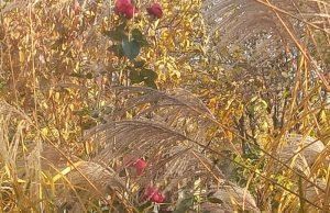 Róża wśród traw, Świdnica, październik 2021, fot. Teresa Nitsch